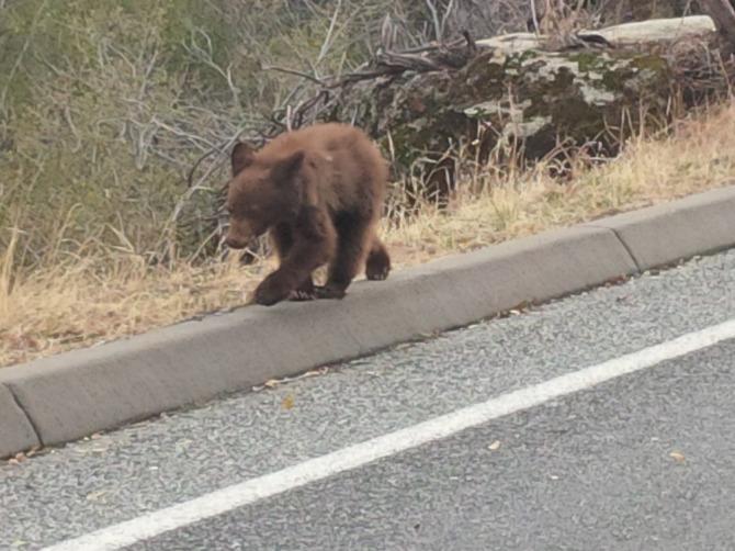 Bear Cub Kings Canyon National Park